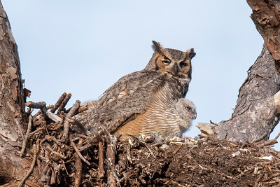 March 31, 2019 - Great horned Owl Nest - 1