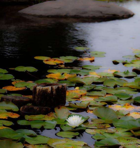 water lilies centennial park conservatory--3.jpg