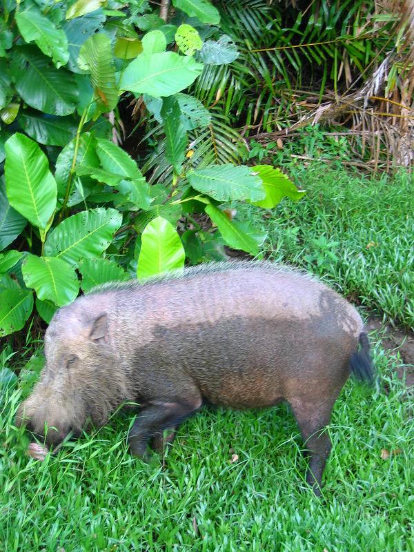 jungle pig sniffing around park headquarters