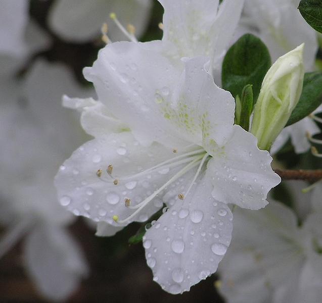 azalea-blossom_108167247_o.jpg