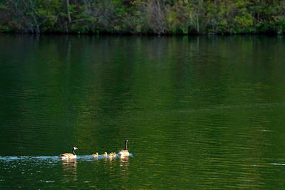 Geese, Lake Petit, Big Canoe.