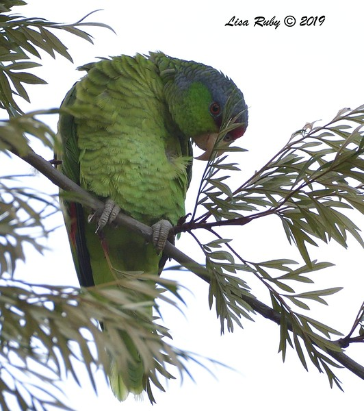 Lilac-crowned Parrot  - 12/01/2019 - Lindo Lake