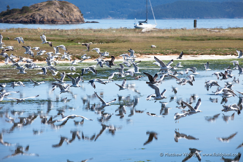 Woodget-140819-274--coastal, flock, leisure, Peuget Sound, reflection, sea bird, seagull, take off, waterfowl.jpg