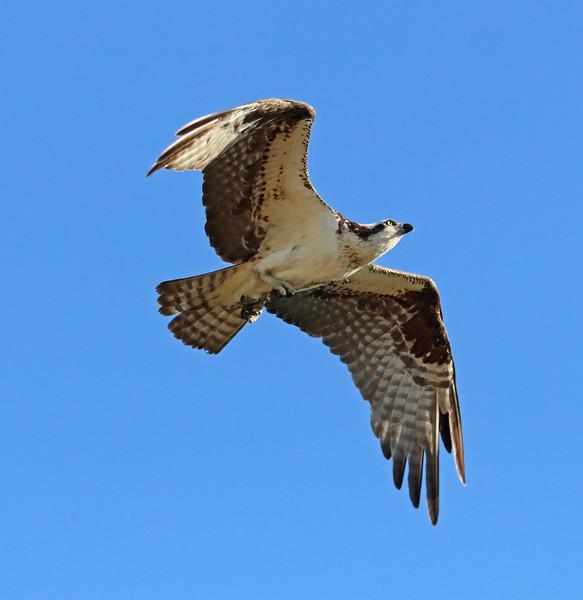 osprey 621.jpg