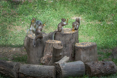 Backyard Squirrels
