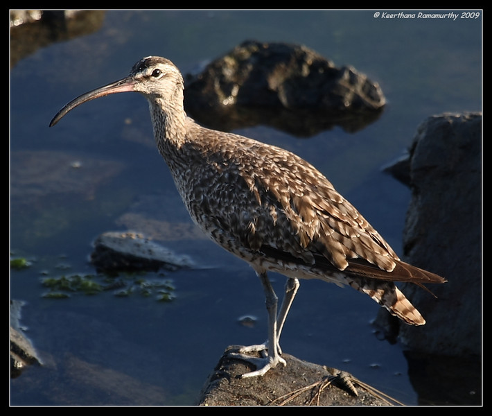 Whimbrel, Robb Field, San Diego River, San Diego County, California, August 2009