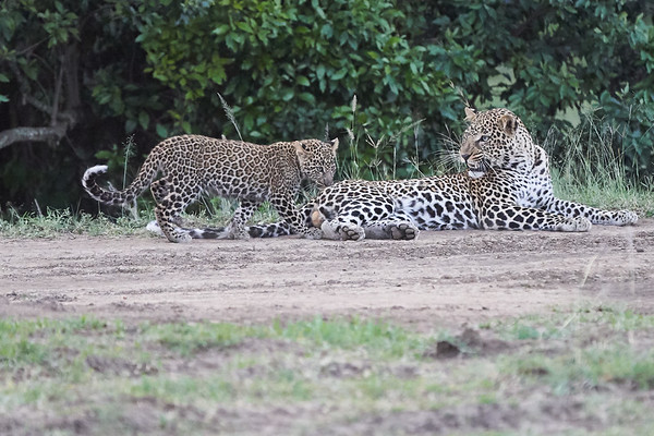 Leopard Cubs with Brother 2018