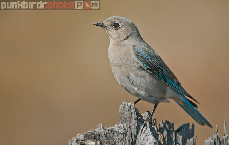 Mountain Bluebird female (Sialia currucoides)