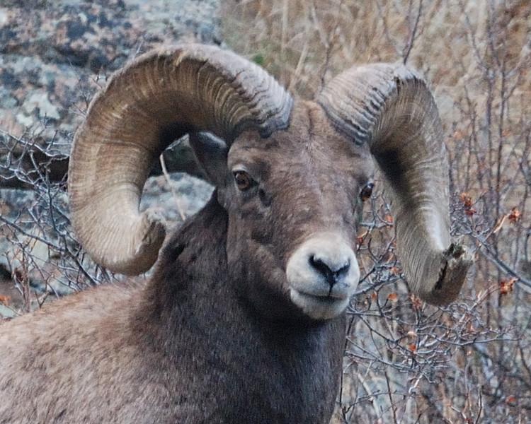 Bighorn Sheep 12062008 071a.jpg