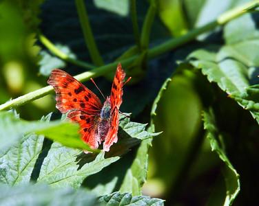 Lustrous Copper - Lycaena cupreus