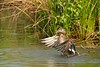 Wood Duck (Aix sponsa) hen clearing the water from her wings after a bath. Newport News, VA. © 2007 Kenneth R. Sheide