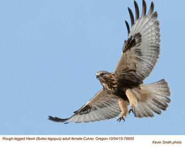 Rough Legged Hawk F78605.jpg