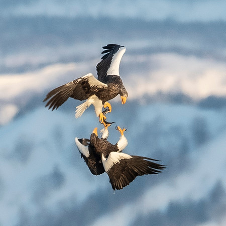 Fighting Eagles,Artistic Images