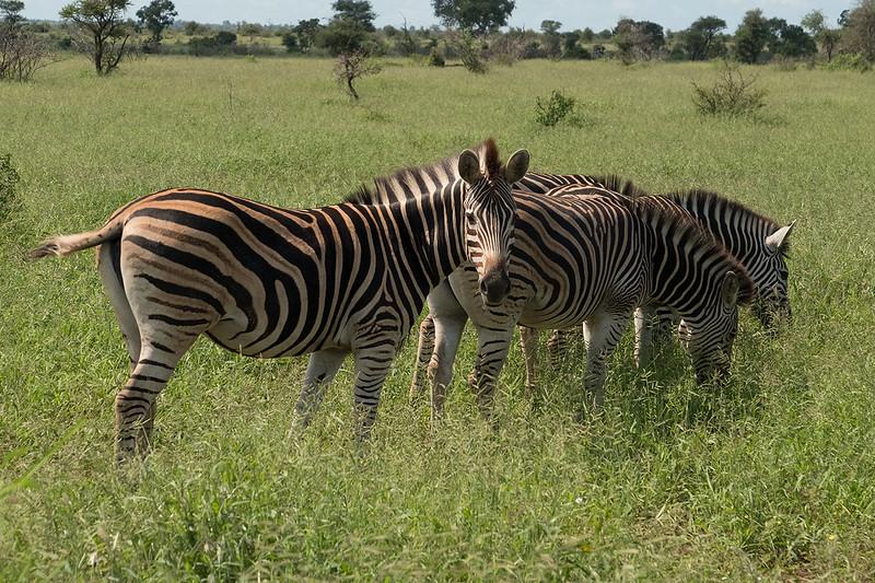Burchells Zebra 1703012170.jpg