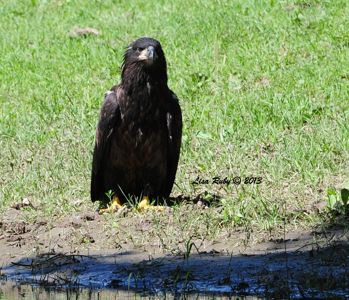 Juvie. I can't remember if this was before or after it took a bath in this pond. 6/28/13