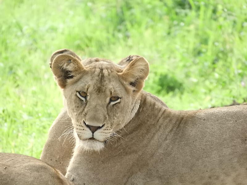 Lions on the road DSCN0370.jpg