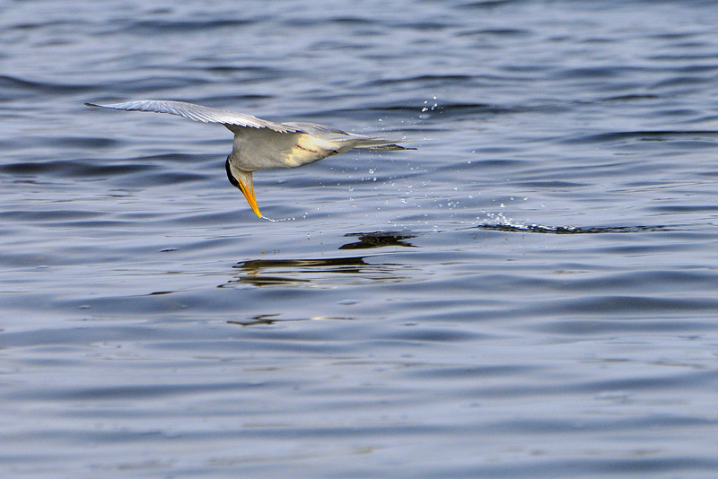 River-tern-skimming-the-water.jpg