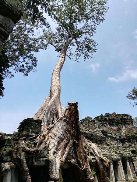strangler tree in angkor wat