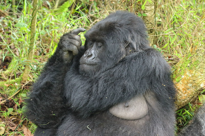 Gorilla0027.JPG