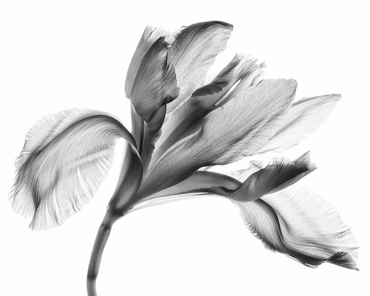 pale-iris-01.jpg