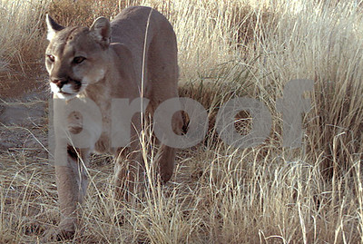 texas-mountain-lions-more-common-west-and-south-but-can-travel-anywhere