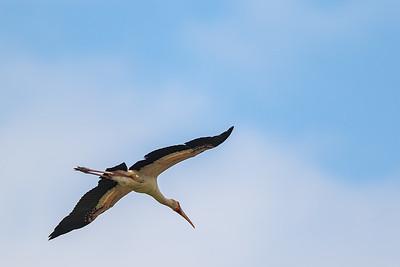 Gulnebbstork (Yellow-billed Stork)