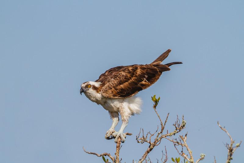 Osprey, Merritt Island NWR