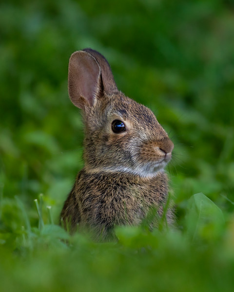 Eastern Cottontail Rabbit Backyard-1.jpg