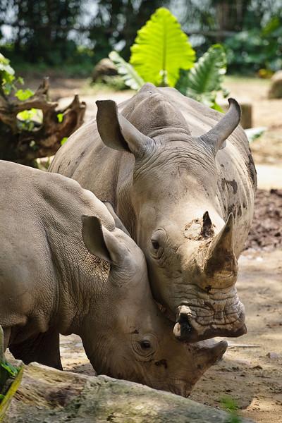 Rhino, Singapore Zoo