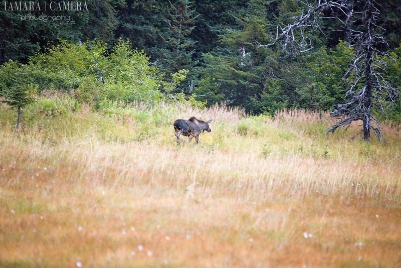 Homer Moose-3-2.jpg
