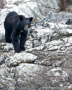 Black Bear on the shoreline of Butte Inlet BC