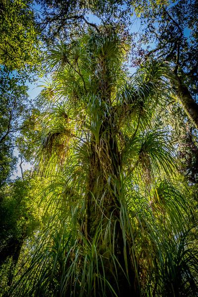 Baum voller Schmarozerpflanzen