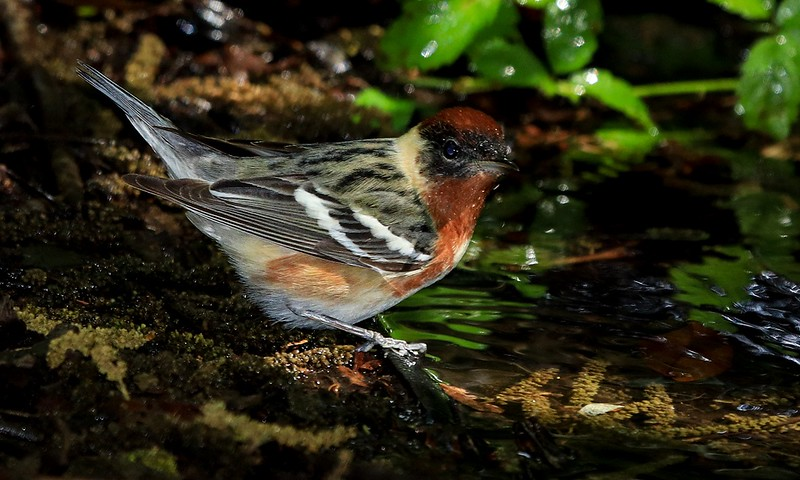 aaHi Isl. May 5 and 6, 2018 281A, male Bay-breasted Warbler-.jpg