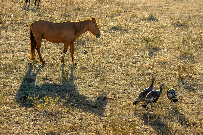 Wild Horse and Turkeys #2