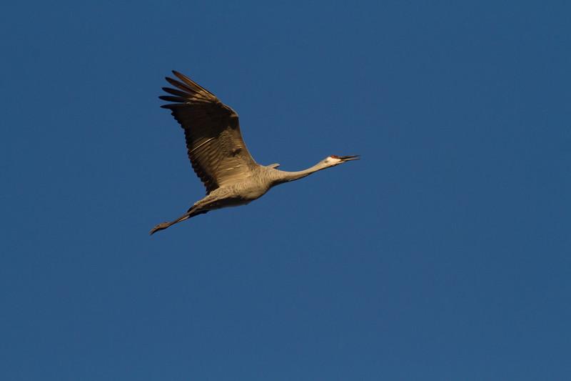 Sandhill Crane flock flying flight Sherburne National Wildlife Refuge Sherburne County MNIMG_1604.jpg