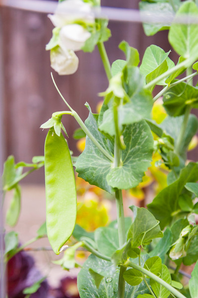 California Grown, Organic Snap Peas