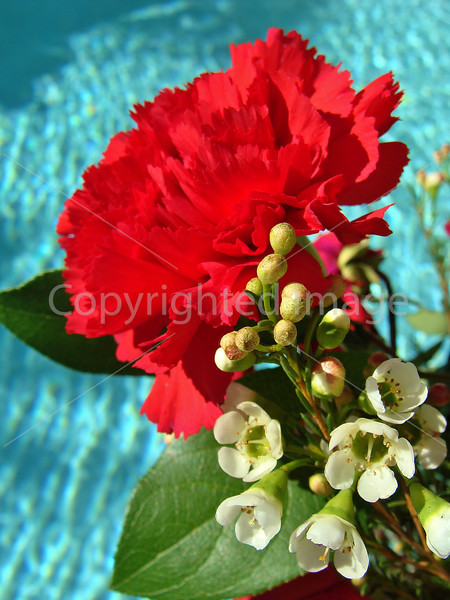 #40 Red carnation and blue water.JPG