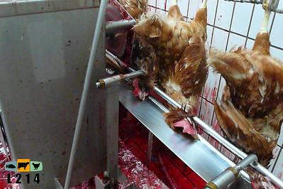 Abattoir poules pondeuses 2007