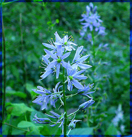 Close up of Wild Hyacinth.. a very beautiful flower. Camassia scilloides Liliaceae Brady Mtn. TN
