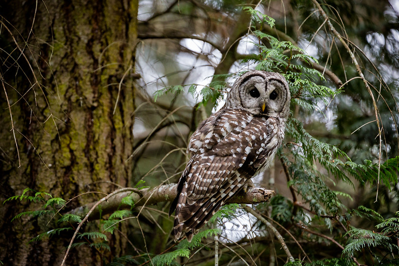 Barred Owl, Saturna
