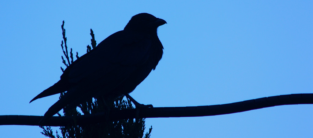 American crow (not a raven)