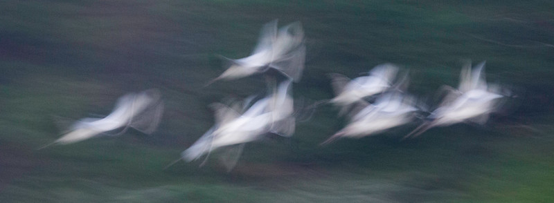 White Ibis Abstract.jpg