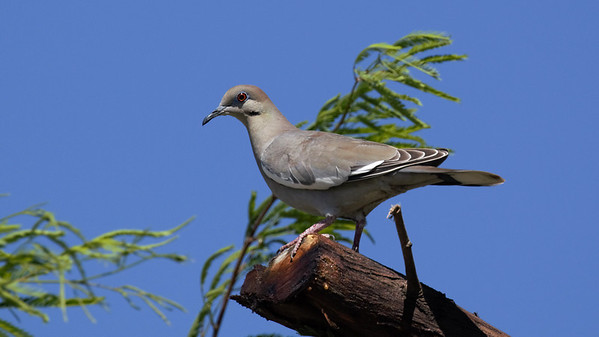 Imperial County Bird Images Library