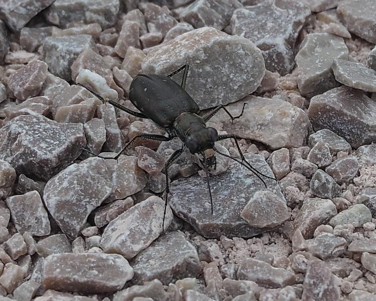 Black Sky Tiger Beetle (Cicindela nigrocoerulea)