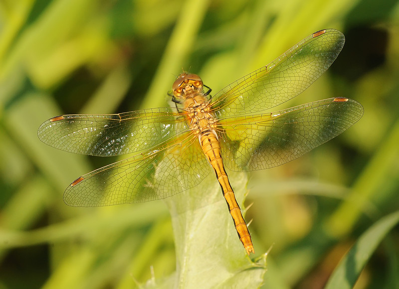 Sympetrum internum (Cherry-faced Meadowhawk),Saskatchewan