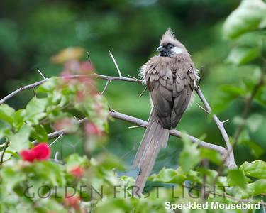 Speckled Mousebird, Kenya