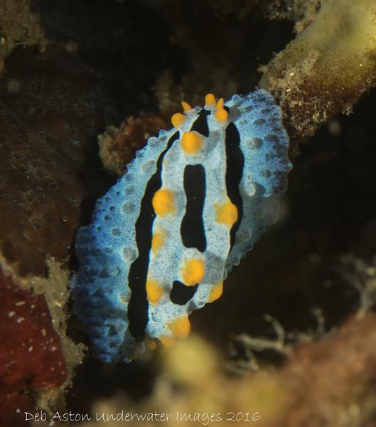 Phyllidia coelistis