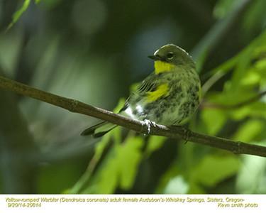 Yellow-rumped Warbler Audubon's F20814.jpg