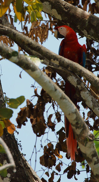 Scarlet Macaw in Shade.jpg