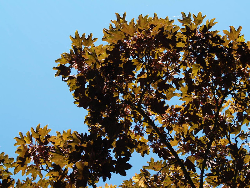 A perfect blue sky day, looking up through a tree at Van Dusen Botanical Gardens (2006).